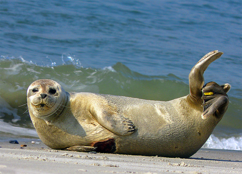 common_seal_phoca_vitulina