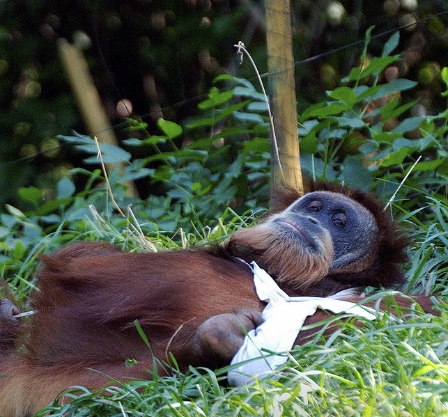 643px-Orangutan_106