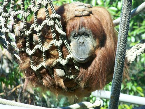 798px-OrangutanSD