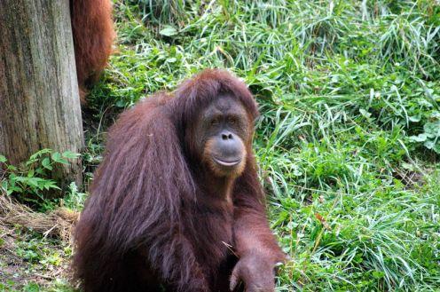 800px-Orangutan_069