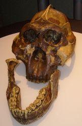 Australopithecus_boisei_skull