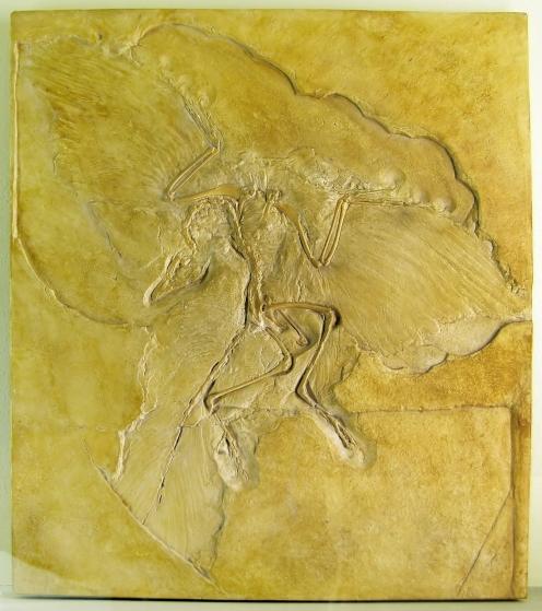 Naturkundemuseum_Berlin_-_Archaeopteryx_-_Eichstätt_edit2